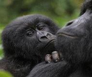 Cinci gorile nascute in Congo, pe timp de razboi, dau sperante pentru salvarea speciei