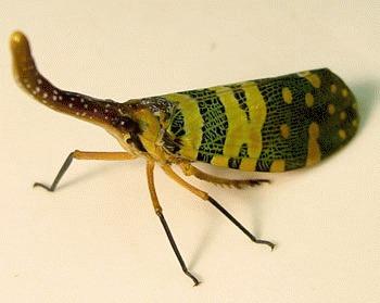 Insectele lanterna (Fulgora lanternia)