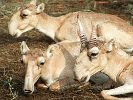 Antilopele Saiga (Saiga tatarica)