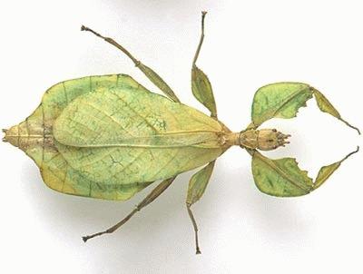 Insecta frunza (Phasmida Phylliidae)