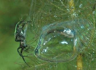 Paianjenul de apa (Argyroneta aquatica)