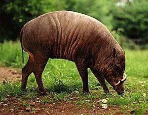 Babirusa sau porcul cerb