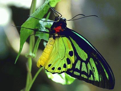 Fluturele Regina Alexandra (Ornithoptera alexandrae)