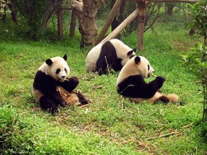 Ursul panda gigant (Ailuropoda melanoleuca)
