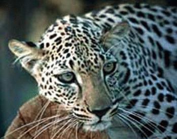 Leopardul arab (Panthera pardus nimr)