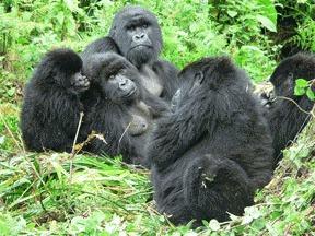 Gorila de campie estica (Gorilla beringei)