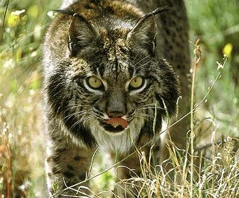 Linxul iberic (Lynx pardinus)