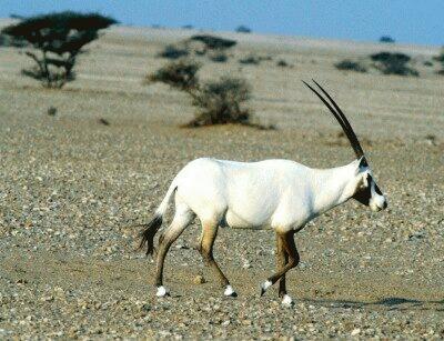 Antilopa araba (Oryx leucoryx)