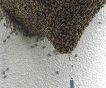 Gazare naturala: albinele isi ucid pradatorii prin asfixiere cu bioxid de carbon