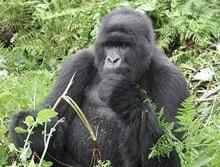 Incendiile obliga gorilele sa fuga din Uganda si Rwanda