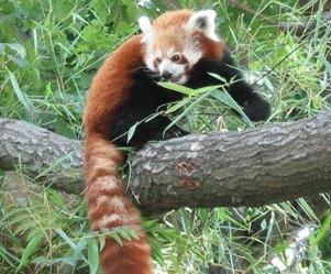 Panda rosu (Ailurus fulgens)