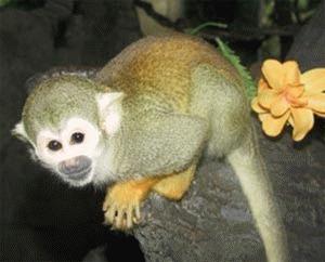 Maimuta veverita