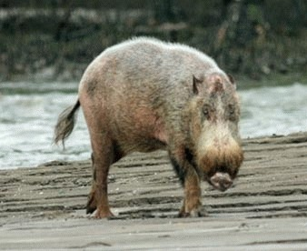 Porcul barbos (Sus barbatus)