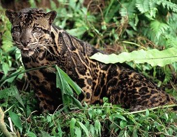 Leopardul patat de Borneo (Neofelis diardi)