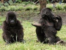 Gorile orfane care au supravietuit unui masacru, redate salbaticiei