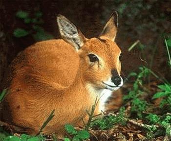 Mesajele olfactive ale antilopei Ourebia ourebi