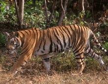 12 ani de inchisoare pentru ca a mancat carnea unui tigru rar