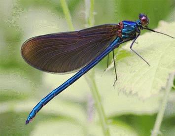 Libelula Calopteryx virgo