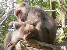 Maimutele `discuta` scurt si la obiect intre ele
