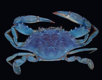 Crabul albastru american (Callinectes sapidus)