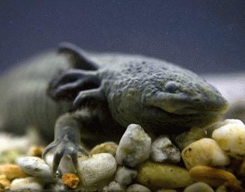 Salamandra Axolotl (Ambystoma mexicanum)