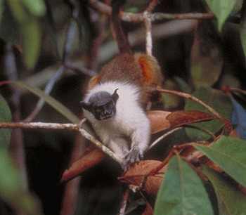 Tamarinul pestrit (Saguinus bicolor)