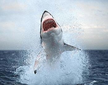 Intrebari si raspunsuri despre viata rechinilor