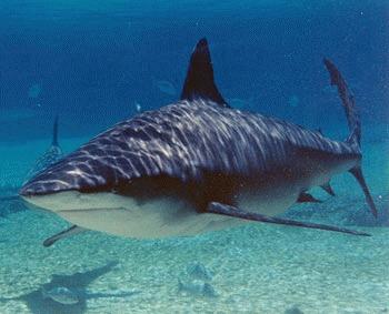Rechinul taur (Carcharhinus leucas)