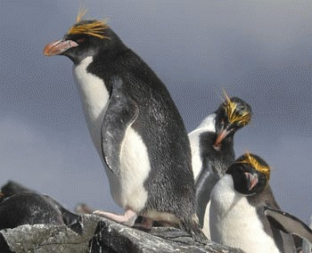 Pinguinul macaroni (Eudyptes chrysolophus)