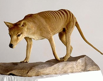 Tigrul tasmanian (Thylacinus cynocephalus)