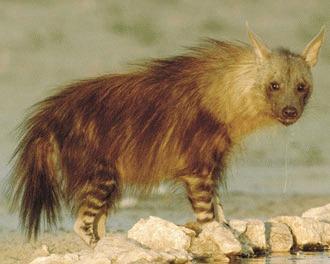 Hiena bruna (Hyaena brunnea)