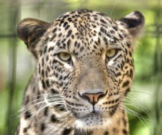Leopardul persan (Panthera pardus saxicolor)