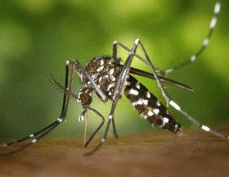 Tantarul tigru asiatic si febra Denga