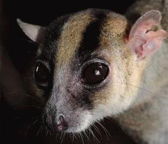 O noua specie de lemurieni descoperita in Madagascar