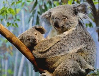 5 lucruri pe care nu le stiati despre ursii Koala