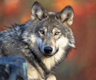 Cateva lucruri interesante despre lupul cenusiu