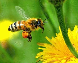 Misterioasa disparitie a albinelor de miere