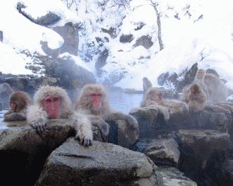 Maimutele de zapada