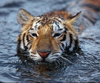 Tigrul - 5 mituri distruse