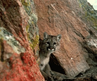 Puma a disparut din estul Statelor Unite