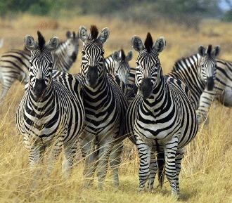 6 fapte mai putin cunoscute despre zebre