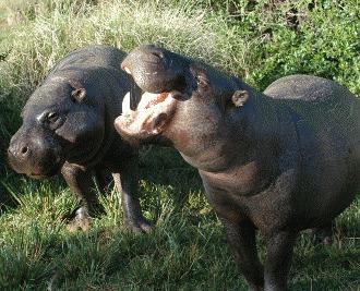 Cel mai mic hipopotom din lume: hipopotamul pitic