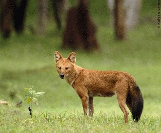 Dhole-ul asiatic: caini salbatici pe cale de disparitie