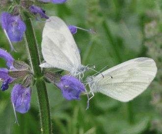 Fluturele alb de padure (Leptidea sinapis)