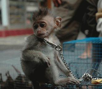 De ce maimutele nu pot fi animale de companie?!