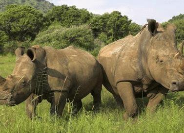 Cateva lucruri interesante despre rinoceri