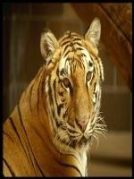 O noua subspecie de tigru