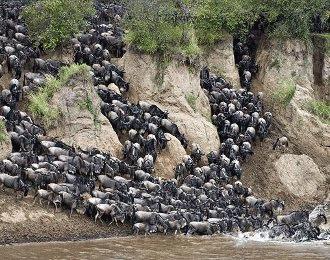 Marile migratii ale animalelor (II)