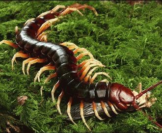 Centipede - Peruvian Giant