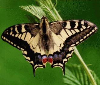 Fluturele Coada Randunicii